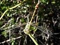 Paragomphus genei. Green Hooktail. Male (6856963633).jpg