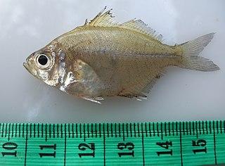 <i>Parambassis siamensis</i> Species of fish
