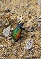 Parc Natural del Garraf 55 - escarabats amorosos - escarabajos amorosos - loving scarabs - Calosoma sycophanta (2581467649).jpg