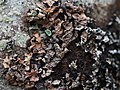 Parmelia sulcata 100843564.jpg