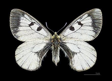 бабочки ленинградской области фото и названия
