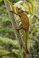 Parson's Chameleon - Andasibè -Madagascar MG 0880 (15295041341).jpg