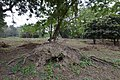 Partially Uprooted Live Tree - AJC Bose Indian Botanic Garden - Howrah 2018-04-01 2366.JPG