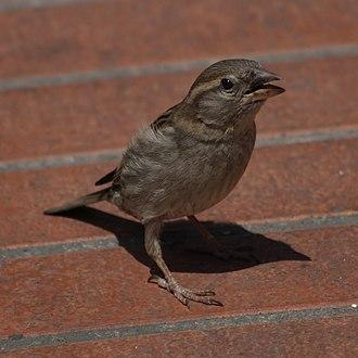 Italian sparrow - Female in Tuscany