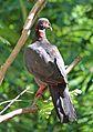 Patagioenas squamosa in Barbados a-10 (cropped).jpg
