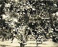 Pear orchard in Douglas County, Oregon, 1920 (5858429964).jpg
