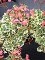Pelargonium.variegatum.2.jpg