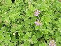 Pelargonium capitatum1.jpg