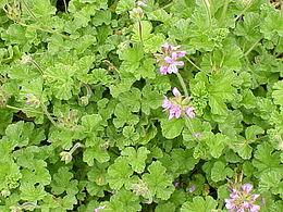Pelargonium capitatum1