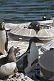 Penguin trying to fly (3617402078).jpg