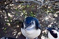 Penguins at Boulders Beach, Cape Town (30).jpg