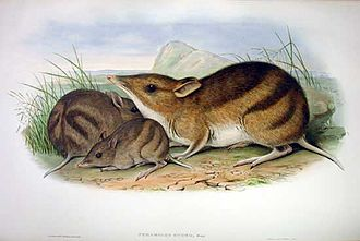 Eastern barred bandicoot - Illustration from Mammals of Australia, 1863