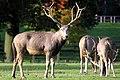 Pere David Deer - Woburn Deer Park (5115883164).jpg