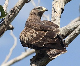 European honey buzzard - Immature birds have a dull iris and yellow cere.