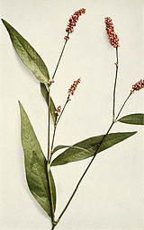 Persicaria maculosa WFNY-047B.jpg
