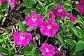 """Petunia """"Wave Rose"""" 2 (49063548936).jpg"""