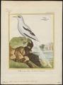 Phaeton flavirostris - 1700-1880 - Print - Iconographia Zoologica - Special Collections University of Amsterdam - UBA01 IZ18000009.tif