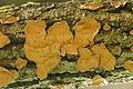 Phellinus.laevigatus.-.lindsey.jpg