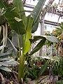 Phenakospermum guyannense BotGardBln08112010C.JPG