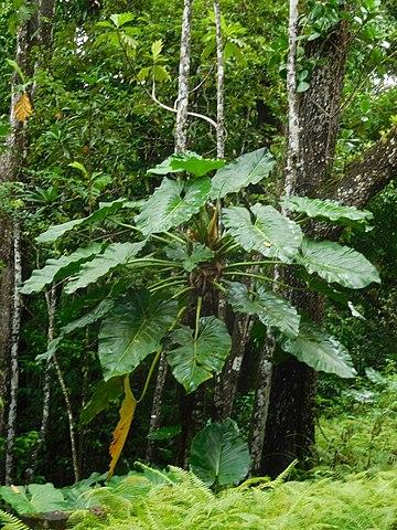 TÌNH YÊU CÂY CỎ ĐV.3 - Page 3 360px-Philodendron_giganteum_%28Araceae%29