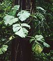 Philodendron pterotum 1.jpg