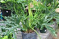 Philodendron selloum Hope 3zz.jpg