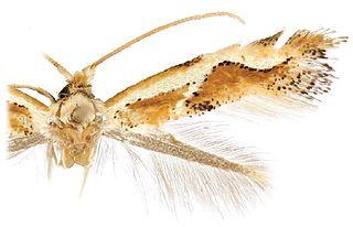 <i>Philonome curvilineata</i> species of insect