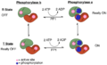 Phosphorylase and PP1 Diagram.png