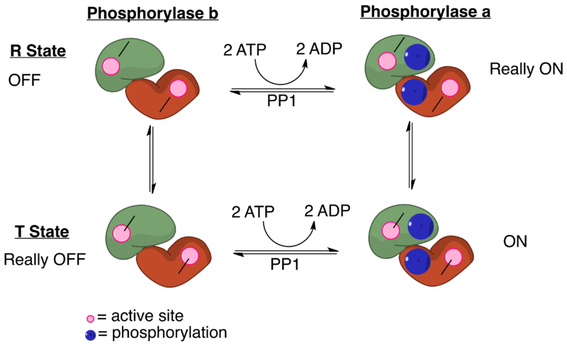 File:Phosphorylase and PP1 Diagram.png