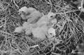 Photograph of Young Marsh Hawks in Nest - NARA - 2127679.tif