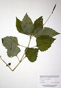 Phryma leptostachya BW-1979-0914-0471.jpg