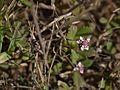 Phyla nodiflora (7202544584).jpg