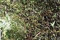 Phyllostachys aurea 34zz.jpg