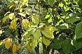 Phytolacca dioica 17zz.jpg