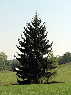 Picea abies tree.JPG