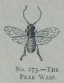 Picture Natural History - No 273 - The Pear Wasp.png