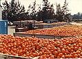 PikiWiki Israel 2474 Kibutz Gan-Shmuel zb7- 7 גן-שמואל-תפוזים ממתינים לעיבודם למיץ 1980-90.jpg