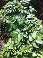 PikiWiki Israel 29426 Potato Plant.jpg
