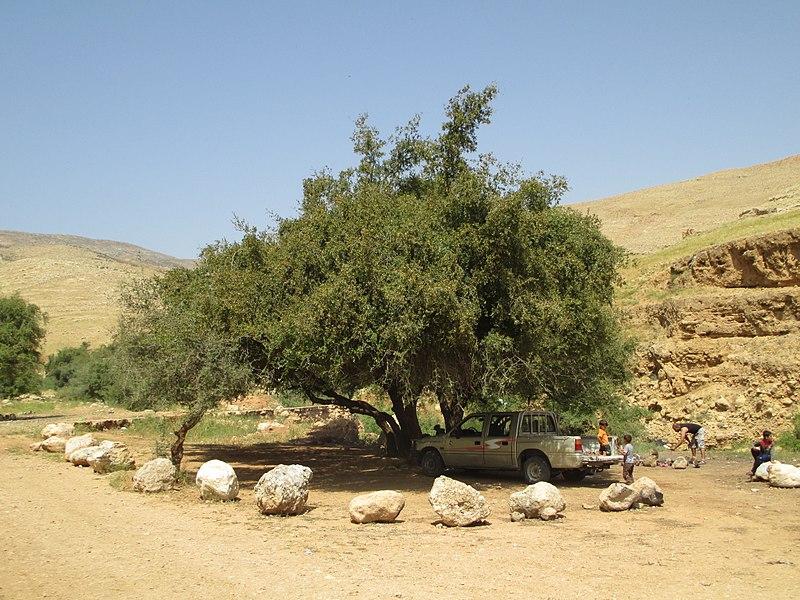 עץ שיזף בנחל פצאל