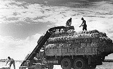 Homens que carregam fardos de feno no caminhão em um kibutz.