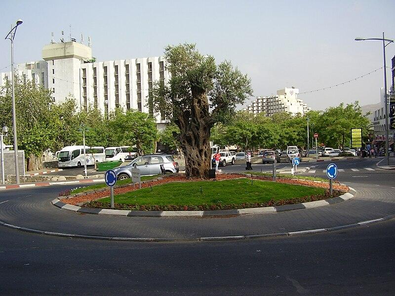 עץ זית בכיכר ליד המלון הסקוטי בטבריה