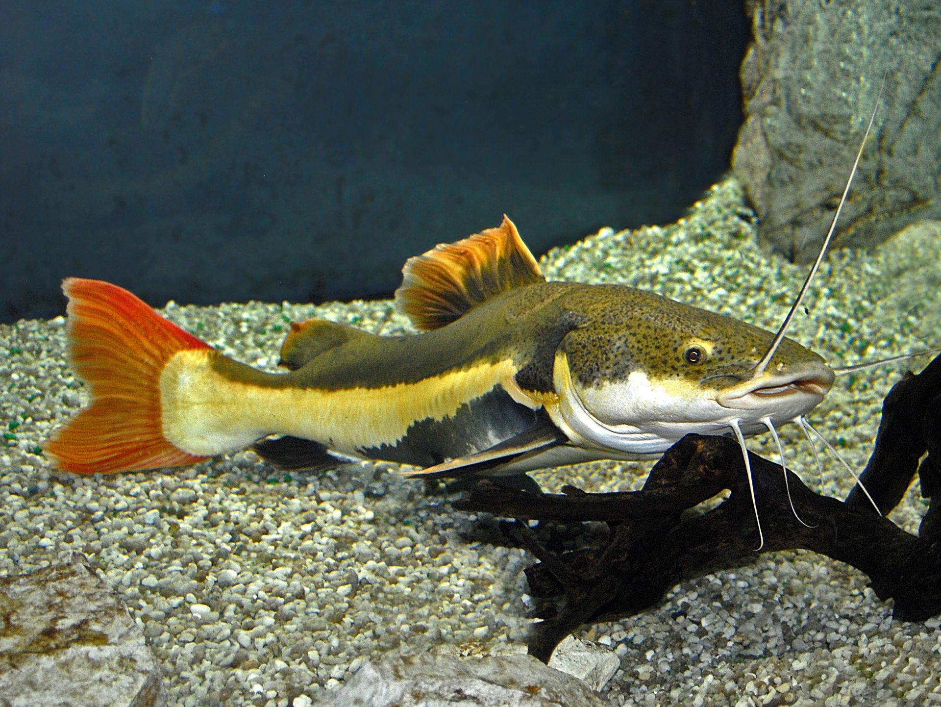 redtail catfish wikipedia