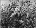 Pinal County, Arizona. Texas cotton picker works in Arizona cotton field. - NARA - 522014.tif