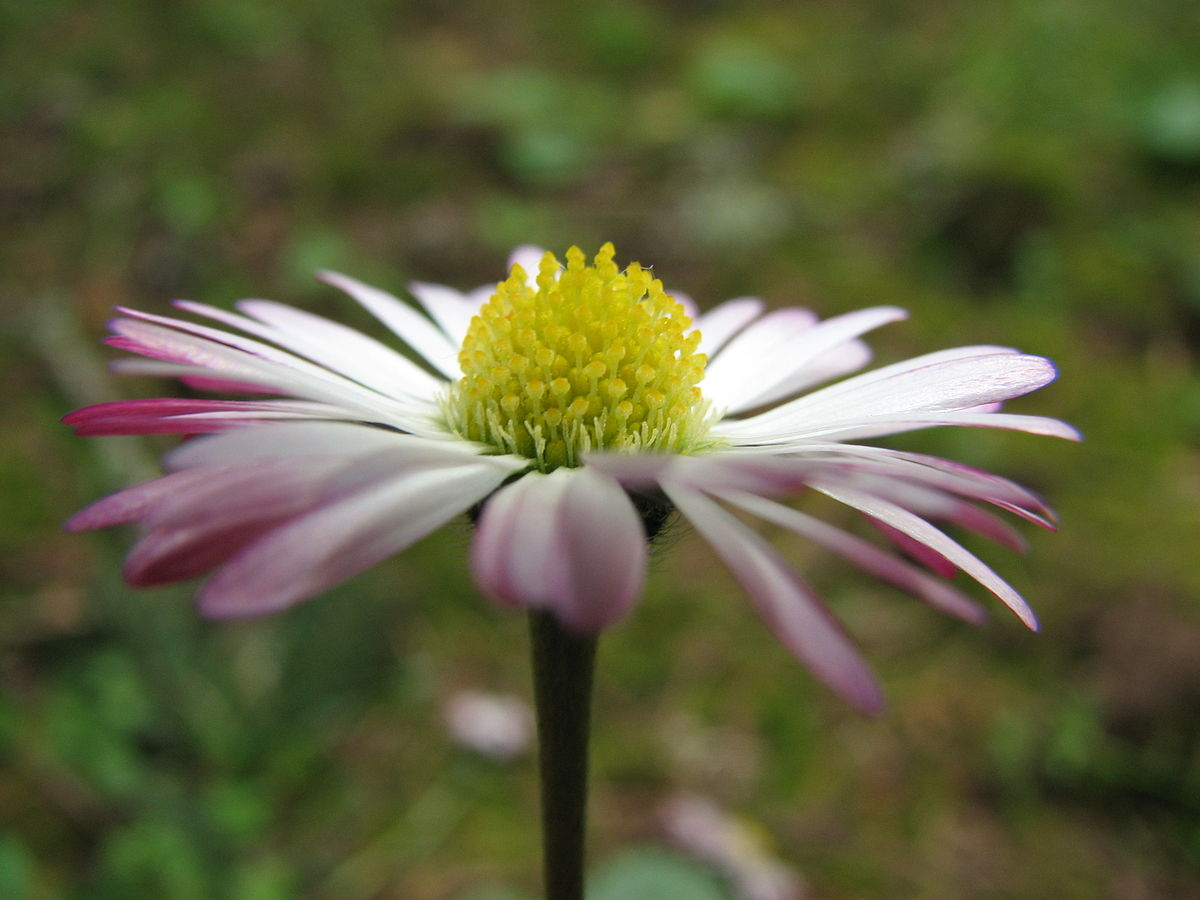 daisy  wiktionary, Natural flower