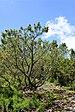 Pinus pumila Rogów.JPG