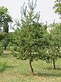 Pinus sylvestris (1).jpg