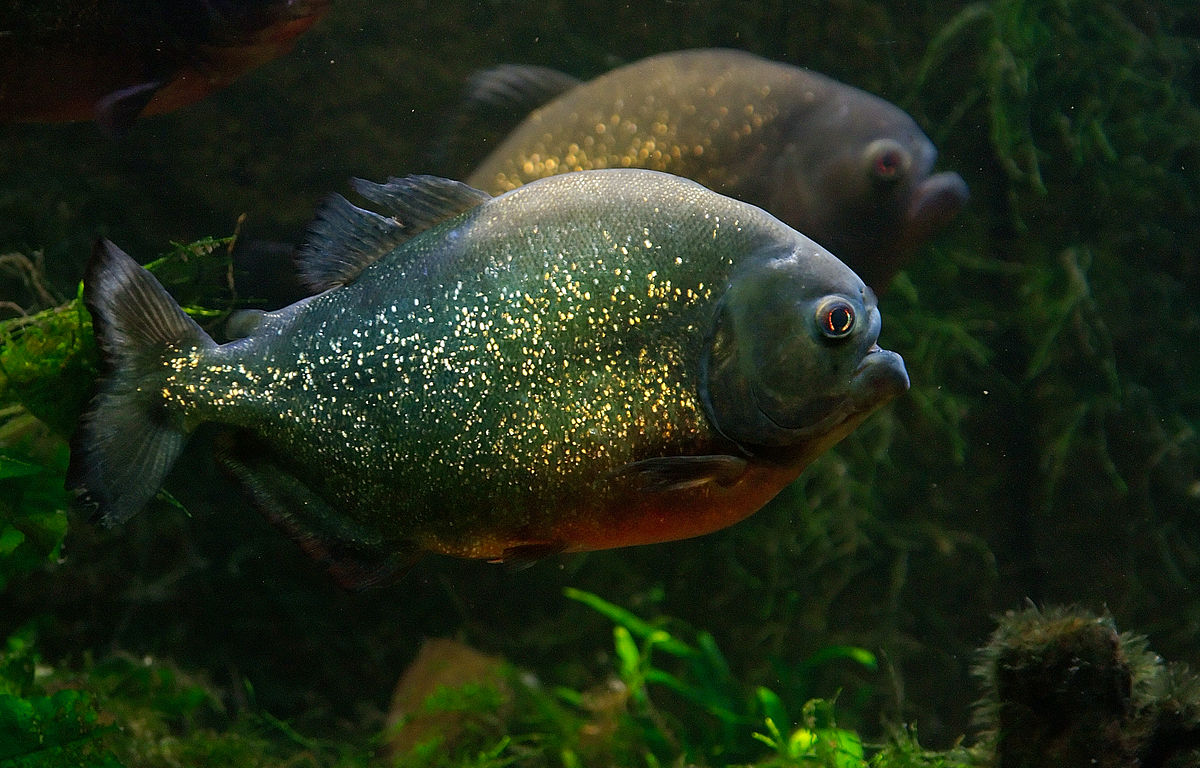 Piranha Vermelha Wikipdia A Enciclopdia Livre HD Wallpapers Download free images and photos [musssic.tk]