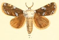 Pl.03-07-Belippa thoracica Moore, 1879 (Contheyla).JPG