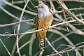 Plaintive Cuckoo Cacomantis merulinus.jpg