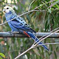 Platycercus adscitus -Far North Queensland-8.jpg